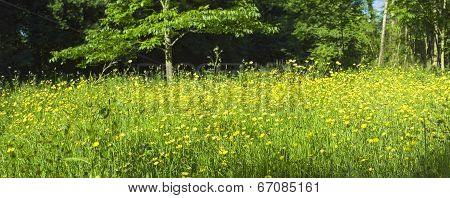 Magical Forest And Wild Buttercup Flowers