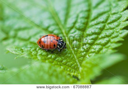 Detail of ladybug macro over green leaf background