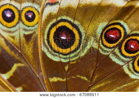 Macro detail of blue morpho ( morpho peleides) butterfly wing, bottom view