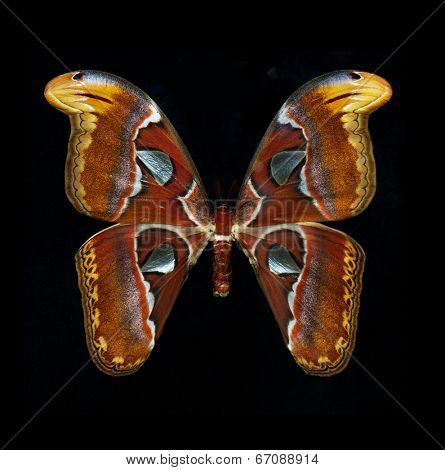 Close up of the attacus atlas butterfly isolated on black background