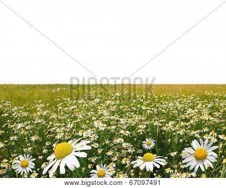 field of marguerites on white background