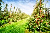 stock photo of orchard  - Red apple orchard at sunny summer day - JPG