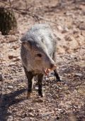 stock photo of javelina  - Javelina or collared peccary in the Sonoran Desert - JPG