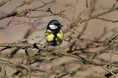 picture of great tit  - wild garden bird  - JPG