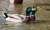 pic of male mallard  - Two male mallard or wild ducks  - JPG
