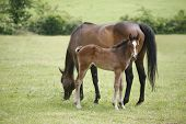 picture of mare foal  - Mare and her foal in meadow. Foal with a mare on a summer pasture