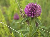 picture of red clover  - Flower Red clover - JPG
