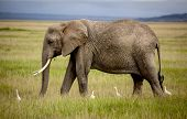 stock photo of coexist  - Elephant walking in Amboseli with four cattle egrets - JPG