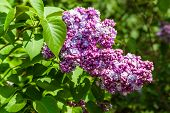 pic of lilac bush  - Lilac bush with green leaf and purple flowers in summer.