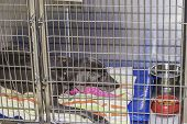 image of chocolate lab  - A sick chocolate lab dogbeing held in a veterinary kennel - JPG