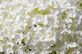pic of hydrangea  - beautiful white hydrangea flowers annabelle in bloom  - JPG