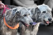 picture of irish  - Two dogs of breed Irish wolfhound - JPG