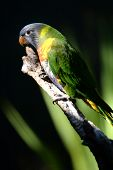 image of lorikeets  - A close up shot of an Australian Rainbow Lorikeet - JPG