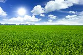 stock photo of husbandry  - Wheat field and blue sky at the summer - JPG