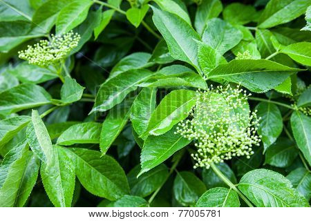 Flower Buds Of The Black Elder (sambucus)