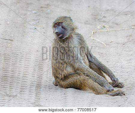 Baboon, Tarangire National Park, Tanzania, Africa