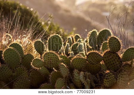 Cactus in morning light