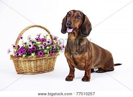 dog Dachshund on white background