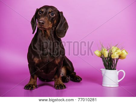 dog breed Dachshund smooth-haired miniature colored background