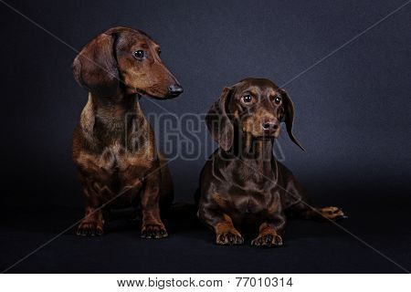 dog breed Dachshund smooth-haired miniature black background