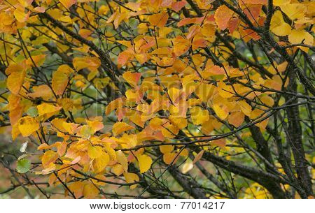 Colorful autumn, fall leaves in the taiga forest, close up birch, Betula pubescens.