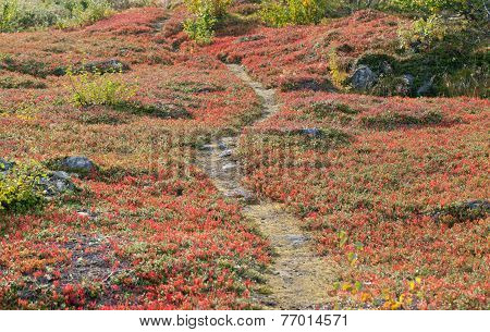 A small path, trail leads through red bearberry leaves.