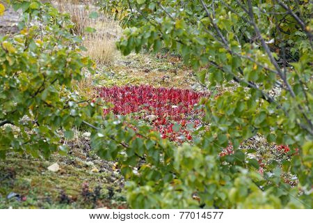 Red bearberry surrounded by green leaves of birches