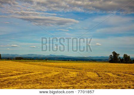 Golden field.