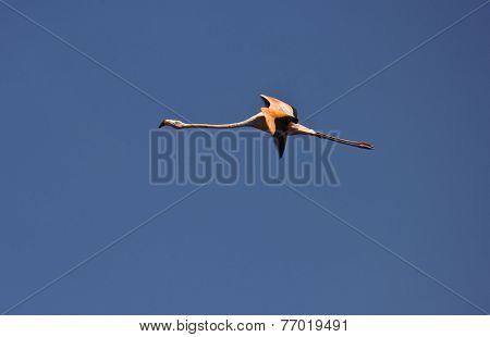 American Flamingo Crossing The Sky