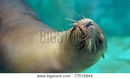 Curious Sea Lion