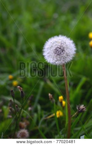 Spring Background With White Dandelion.