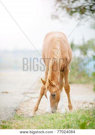 Arabian Foal Grazing
