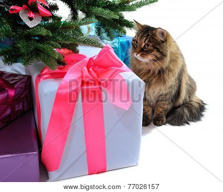 gift boxes and cat under Christmas tree. isolated on white