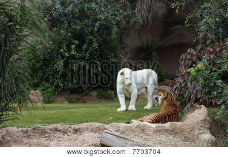 Two Tigers In Loro Parque In Tenerife