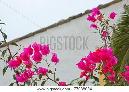 Bougainvillea flower wall