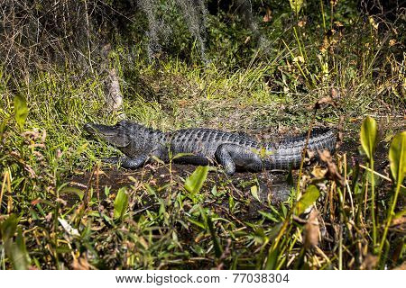 Alligator Sunning Ashore