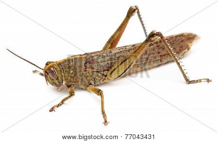 Locust Isolated On White