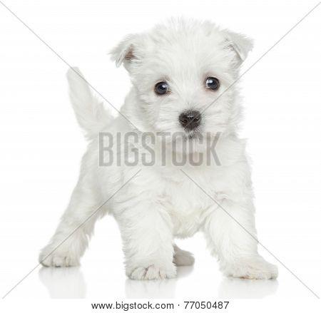 Westy Puppy