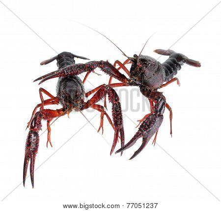 Two Alive Crawfish