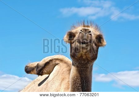 Camel on background of sky