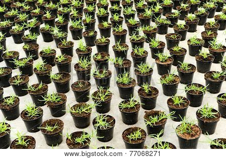 Plantation Of Young Seedlings