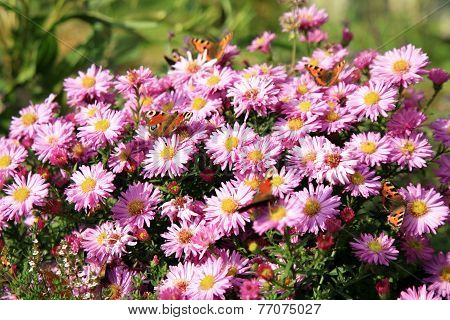 Butterfly on blue flowers of autumn aster amellus