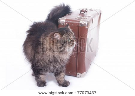 Persian Cat Is Next To An Old Suitcase