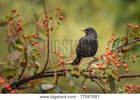 Blackbird On Branch