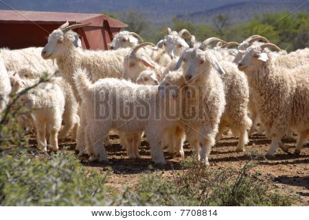 Flock Of Angora Goats