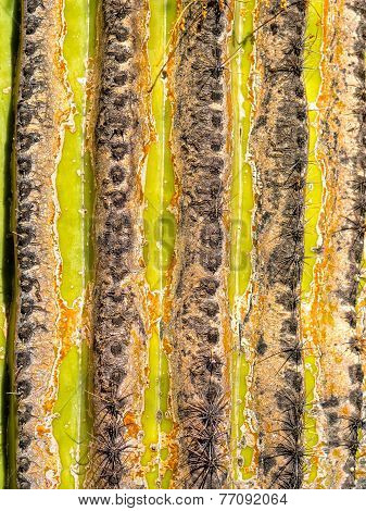 Close Up Of A Saguaro Stem
