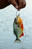 picture of caught  - Piranha fish caught - JPG