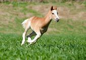 picture of pony  - little welsh pony foal running fast on the wild - JPG