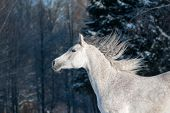 stock photo of wild horse running  - gray horse in winter forest running wild - JPG