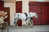 pic of lipizzaner  - horse on stable after work going home - JPG